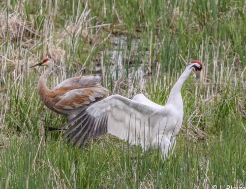 Endangered Whooping Crane Provides Astounding Show