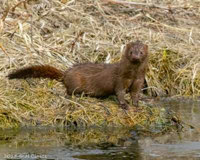 mink at Middleton WI pond